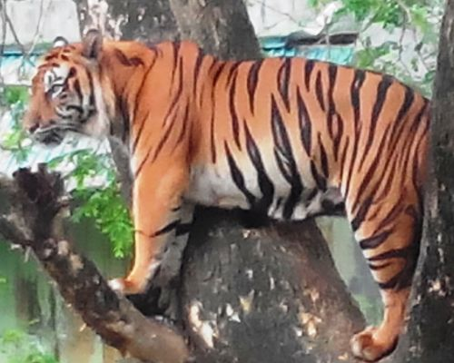 A Sumatran tiger hunter is prosecuted to three years in prison in Medan Court (December 12, 2017)