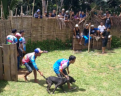 Dog-Wild Boar Fights Continue in Rural Area in West Java